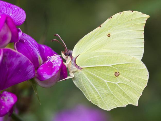 Photo 2 from https://butterfly-conservation.org/butterflies/brimstone