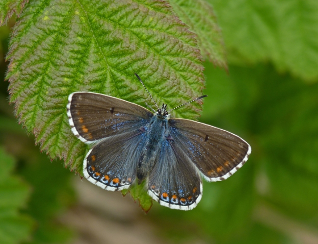 Photo 14 ii) by Neil Hulme from https://www.ukbutterflies.co.uk/album_photo.php?id=14001