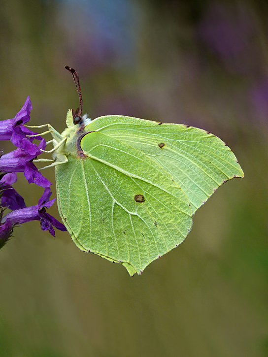 Photo 2 ii) by Neil Hulme from https://www.ukbutterflies.co.uk/album_photo.php?id=22501