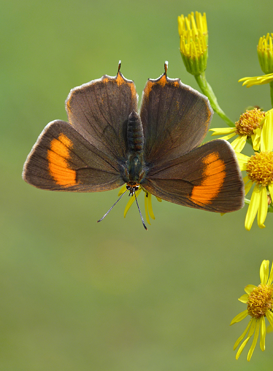 Photo Twelve by Neil Hulme from https://www.ukbutterflies.co.uk/album_photo.php?id=15616