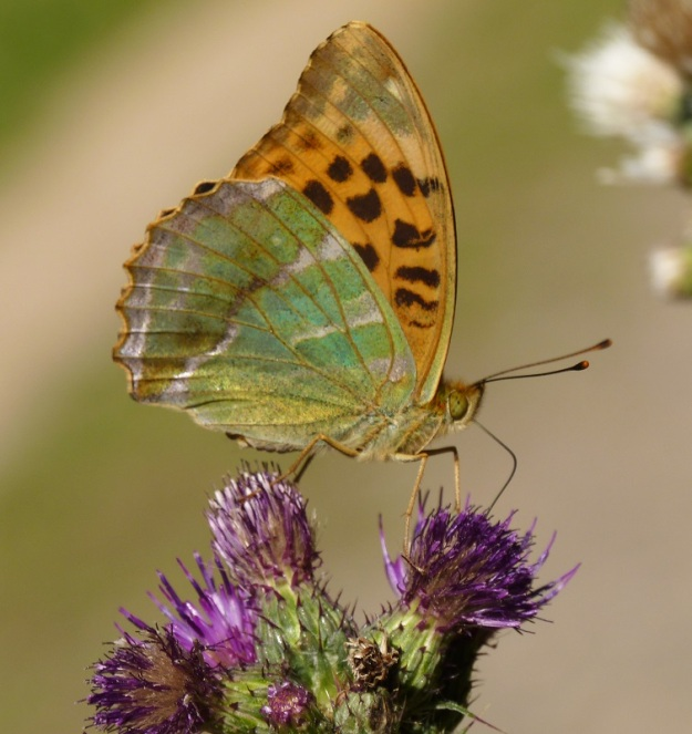 Photo Ten by Pauline Richards, from https://www.ukbutterflies.co.uk/album_photo.php?id=15133