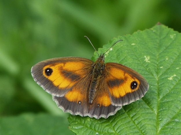 Photo Fifteen by Neil Freeman from https://www.ukbutterflies.co.uk/album_photo.php?id=13841
