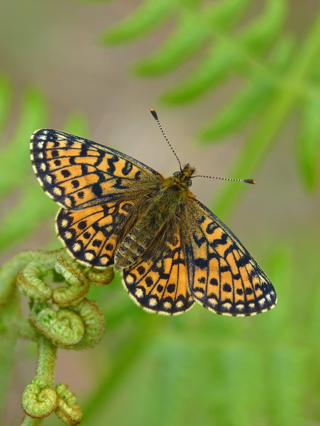 Photo Nine by Neil Hulme, from https://www.ukbutterflies.co.uk/album_photo.php?id=23493