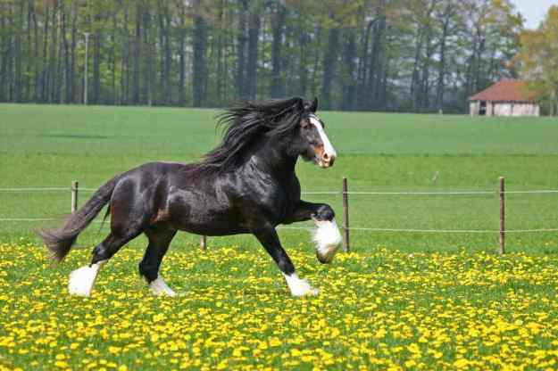 Photo Two from https://www.globetrotting.com.au/horse-breed-shire-horse/