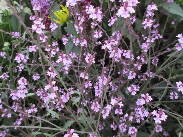 Photo Two from https://www.tortworthplants.co.uk/ourshop/prod_6850797-Verbena-officinalis-var-grandiflora-Bampton-9cm-pot.html