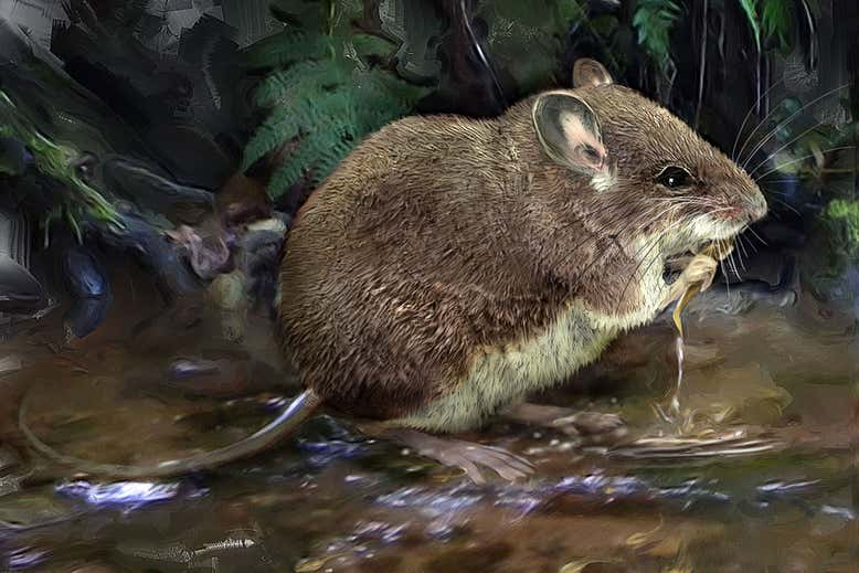 Photo One fromhttps://www.newscientist.com/article/2256702-rat-that-uses-whiskers-to-hunt-underwater-prey-is-really-four-species/ by Velizar Simeonovski, Field Museum