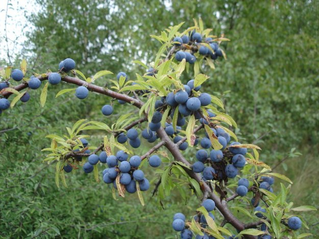 Photo Two by Ian Cunliffe/Blackthorn fruit (sloes) - Prunus spinosa