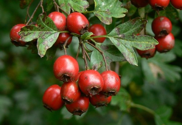 Photo Four by Brian Robert Marshall/Hawthorn berries, Postern Hill, Savernake Forest